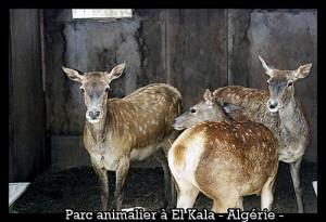 cerf-de-barbarie-algerie-300x205