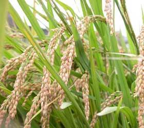 riz-plants